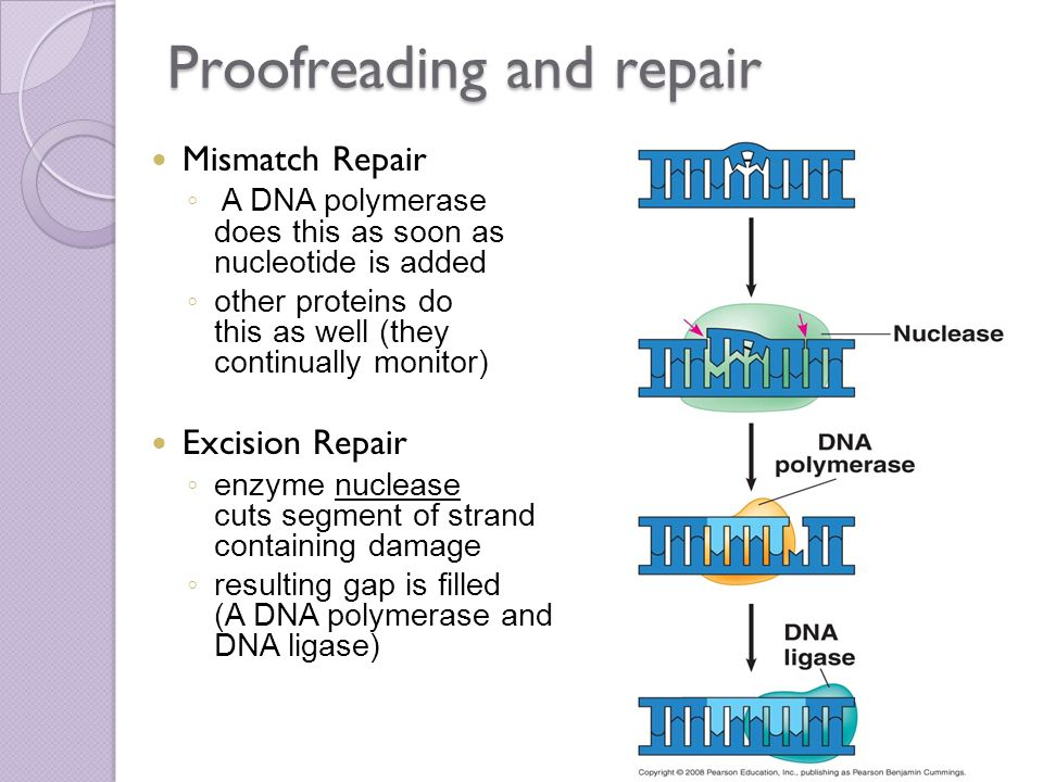 Proofreading and repair Mismatch Repair ◦ A DNA polymerase does this as soon as nucleotide is added ◦ other proteins do this as well (they continually monitor) Excision Repair ◦ enzyme nuclease cuts segment of strand containing damage ◦ resulting gap is filled (A DNA polymerase and DNA ligase)