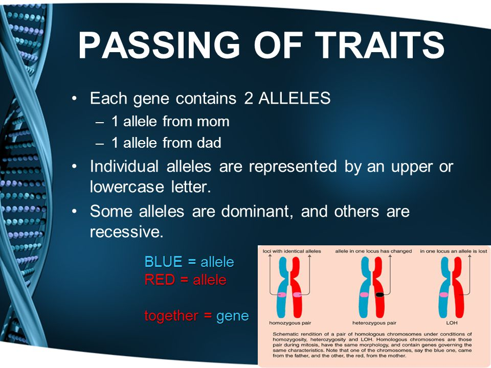PASSING OF TRAITS Each gene contains 2 ALLELES –1 allele from mom –1 allele from dad Individual alleles are represented by an upper or lowercase lette