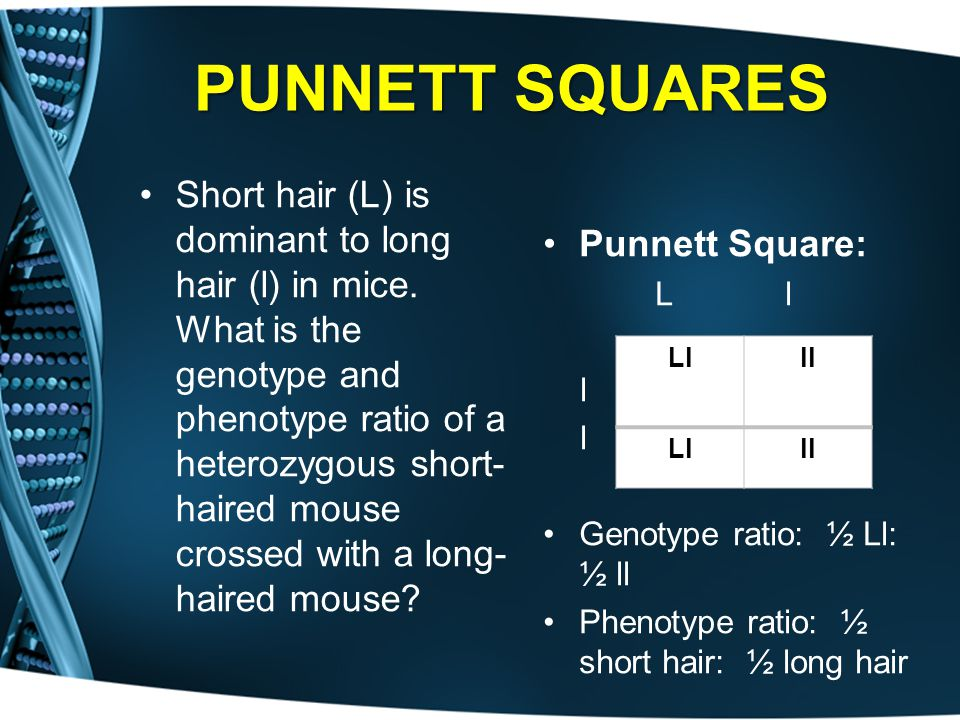 PUNNETT SQUARES Short hair (L) is dominant to long hair (l) in mice. What is the genotype and phenotype ratio of a heterozygous short- haired mouse cr