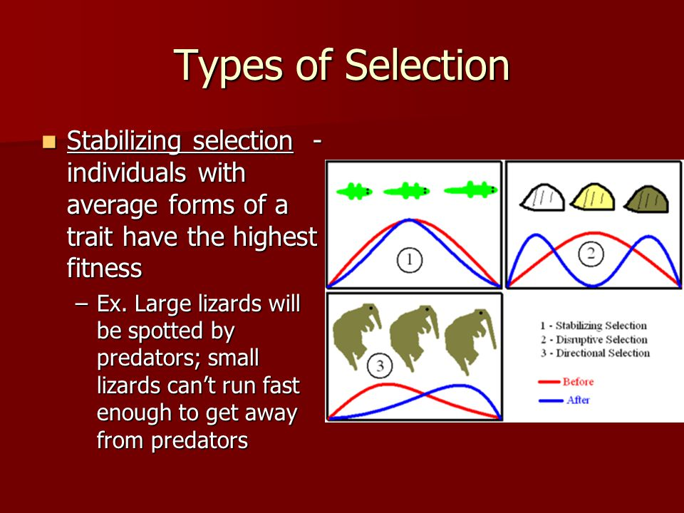 Types of Selection Stabilizing selection - individuals with average forms of a trait have the highest fitness Stabilizing selection - individuals with