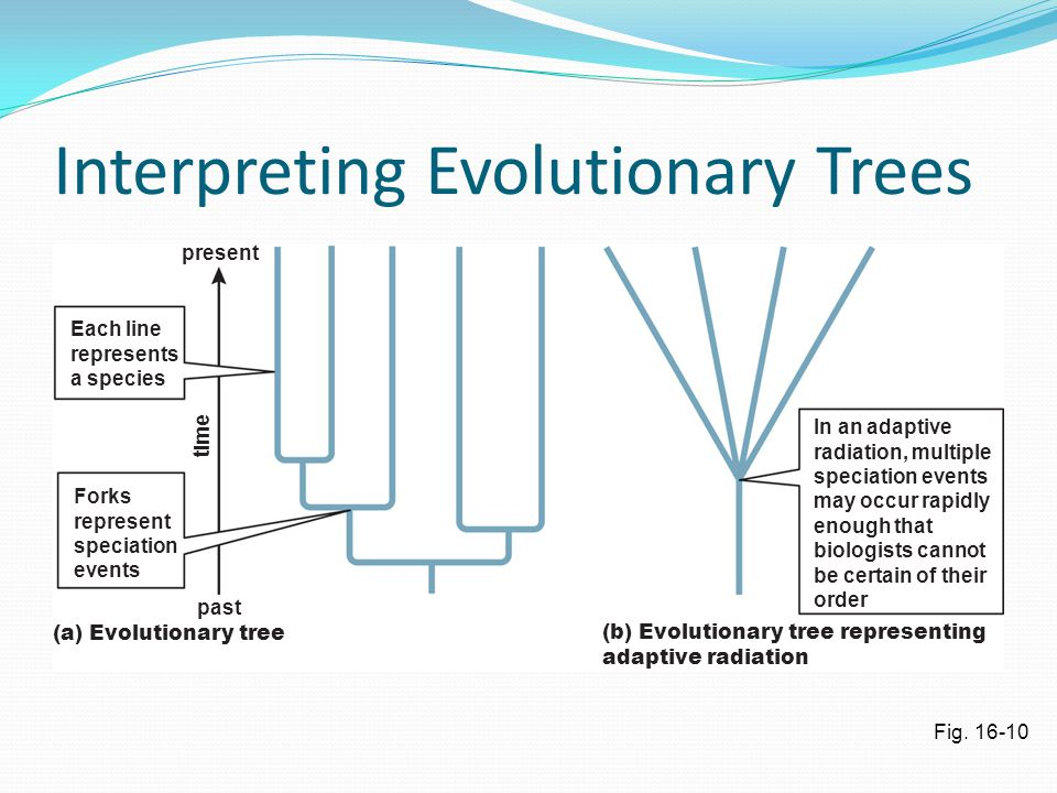 Interpreting Evolutionary Trees Fig. 16-10 past (a) Evolutionary tree(b) Evolutionary tree representing adaptive radiation In an adaptive radiation, m