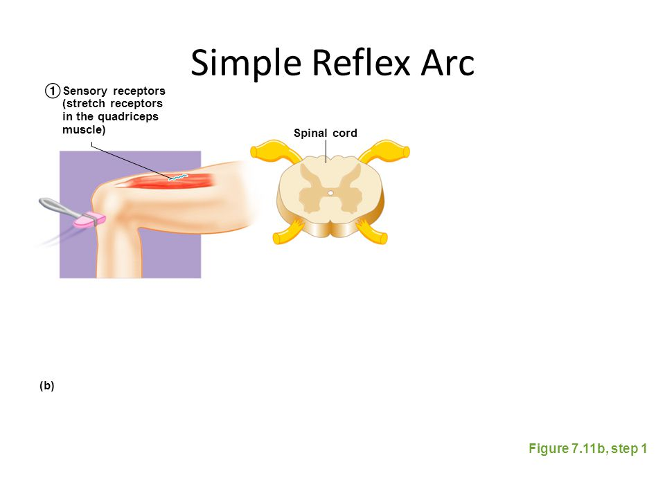 Simple Reflex Arc Figure 7.11b, step 1 Spinal cord Sensory receptors (stretch receptors in the quadriceps muscle) (b)