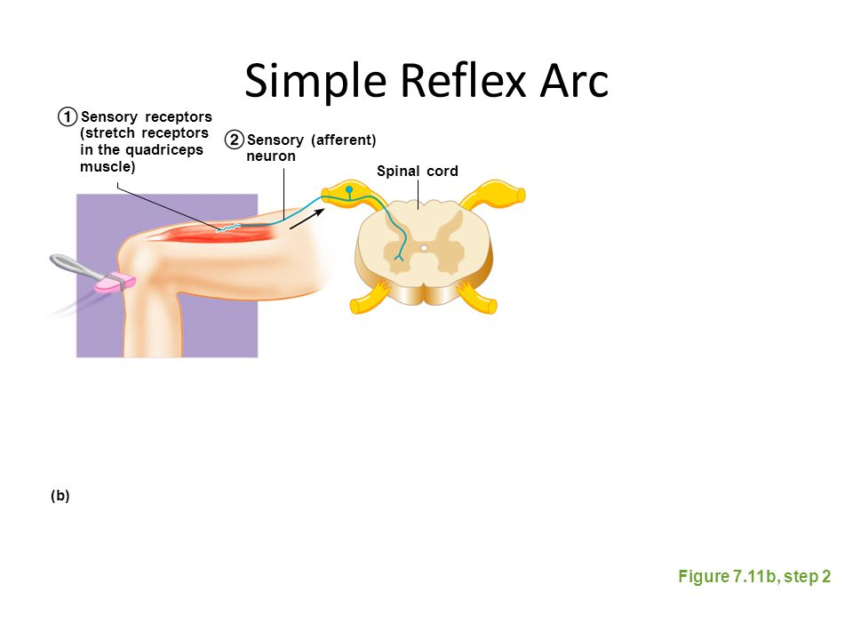 Simple Reflex Arc Figure 7.11b, step 2 Spinal cord Sensory (afferent) neuron Sensory receptors (stretch receptors in the quadriceps muscle) (b)