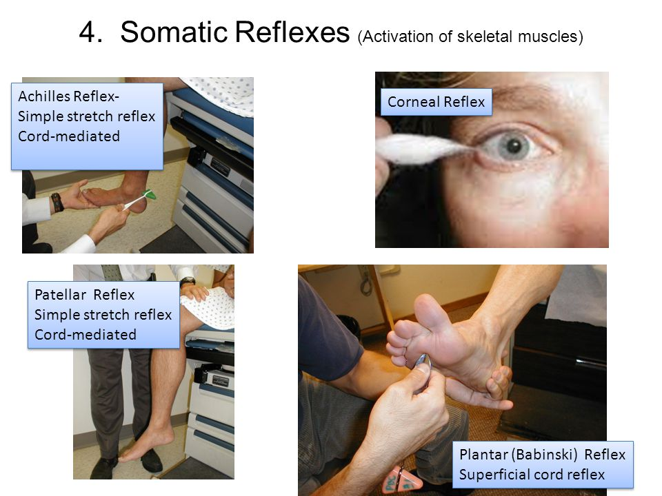 4. Somatic Reflexes (Activation of skeletal muscles) Achilles Reflex- Simple stretch reflex Cord-mediated Achilles Reflex- Simple stretch reflex Cord-