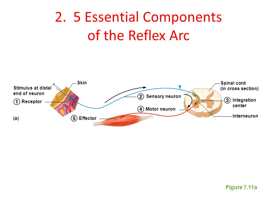 2. 5 Essential Components of the Reflex Arc Figure 7.11a Stimulus at distal end of neuron Skin Spinal cord (in cross section) Interneuron Receptor Eff