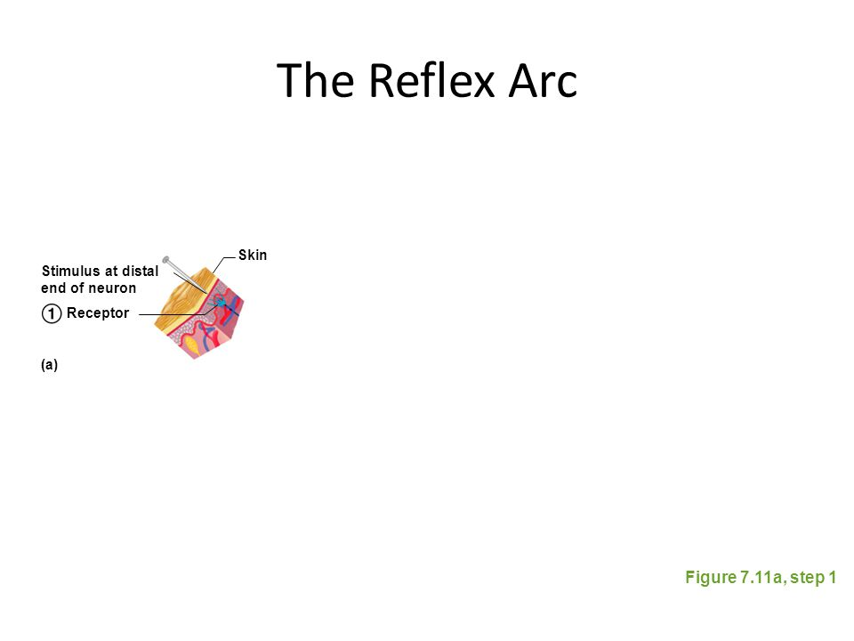 The Reflex Arc Figure 7.11a, step 1 Stimulus at distal end of neuron Skin Receptor (a)