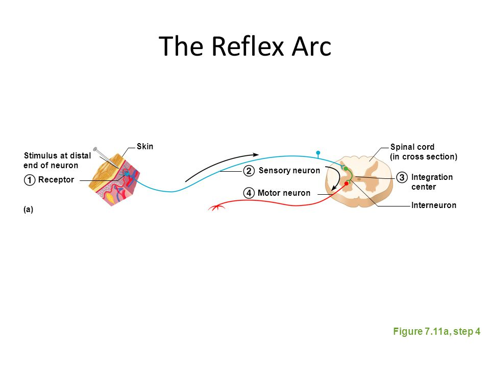 The Reflex Arc Figure 7.11a, step 4 Stimulus at distal end of neuron Skin Spinal cord (in cross section) Interneuron Receptor Sensory neuron Motor neu