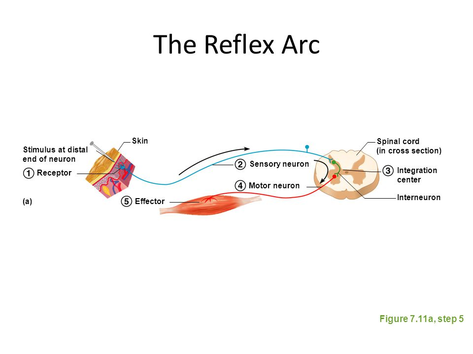 The Reflex Arc Figure 7.11a, step 5 Stimulus at distal end of neuron Skin Spinal cord (in cross section) Interneuron Receptor Effector Sensory neuron
