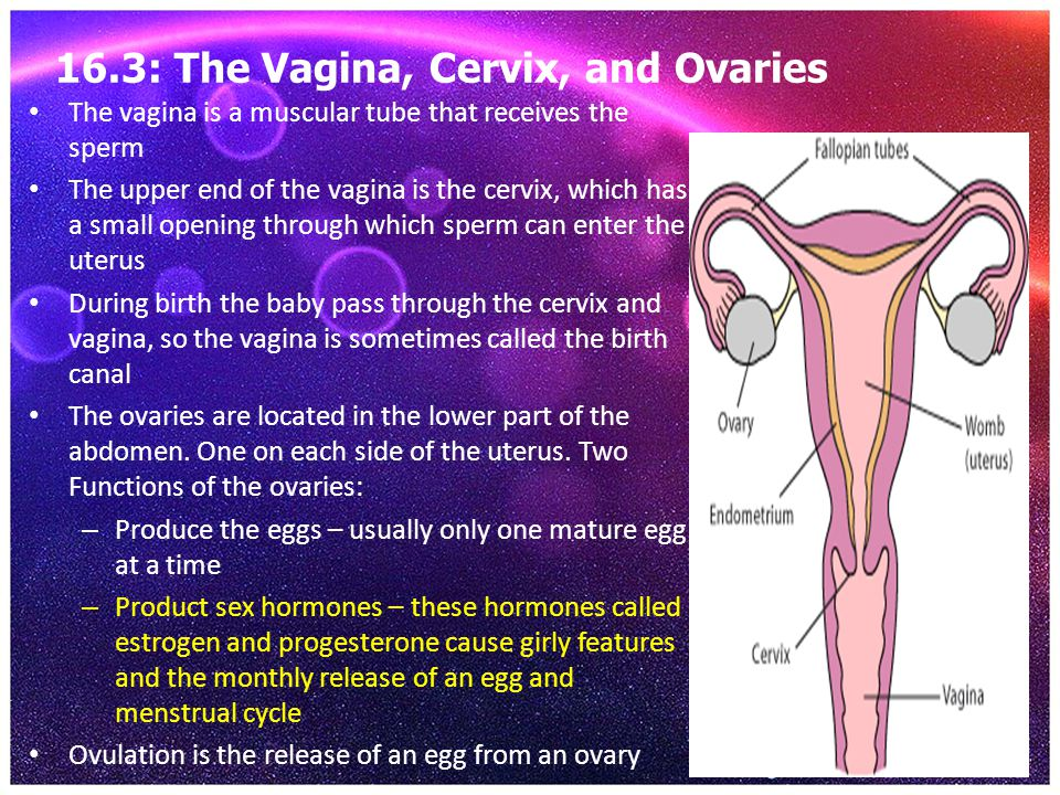 16.3: The Vagina, Cervix, and Ovaries The vagina is a muscular tube that receives the sperm The upper end of the vagina is the cervix, which has a sma