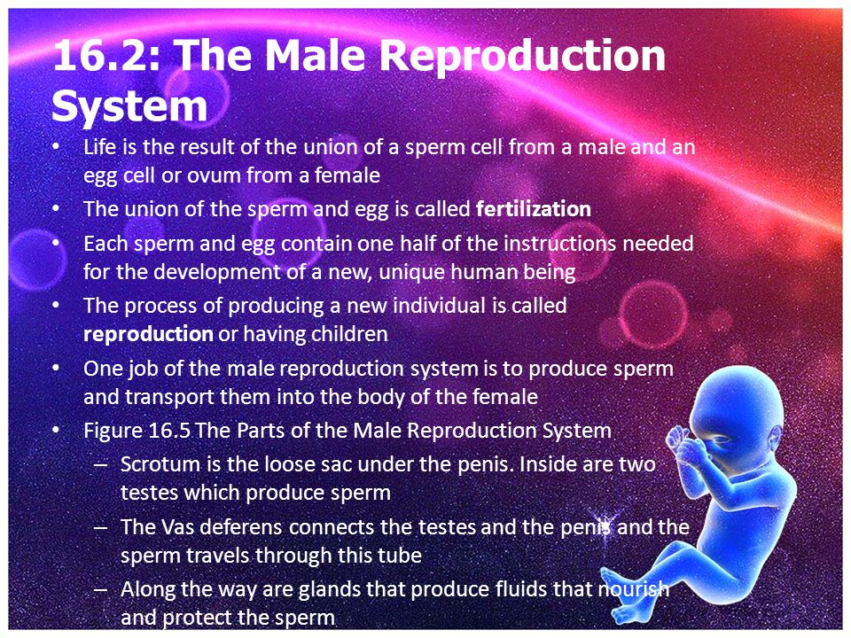 16.2: The Male Reproduction System Life is the result of the union of a sperm cell from a male and an egg cell or ovum from a female The union of the
