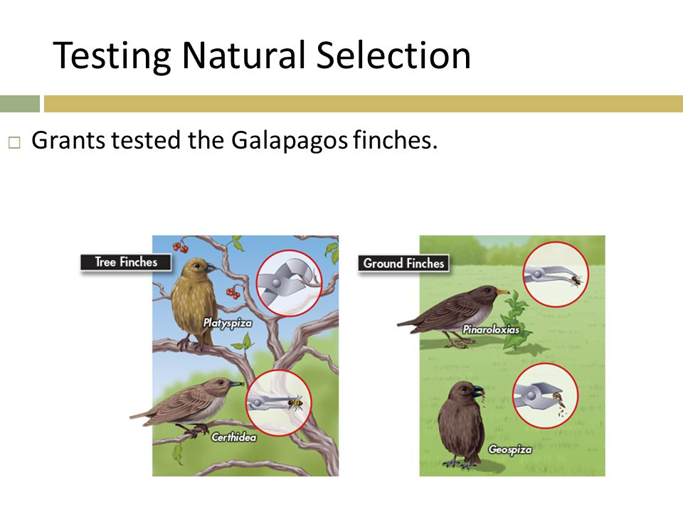 Testing Natural Selection  Grants tested the Galapagos finches.