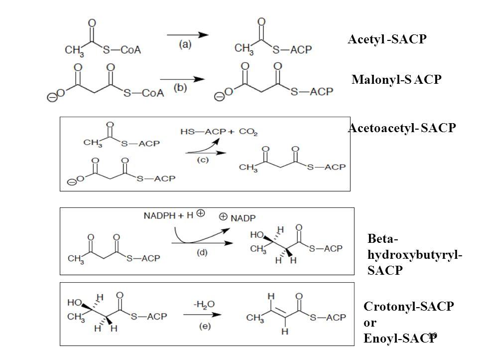 19 Acetyl -SACP Malonyl-S ACP Acetoacetyl- SACP Beta- hydroxybutyryl- SACP Crotonyl-SACP or Enoyl-SACP