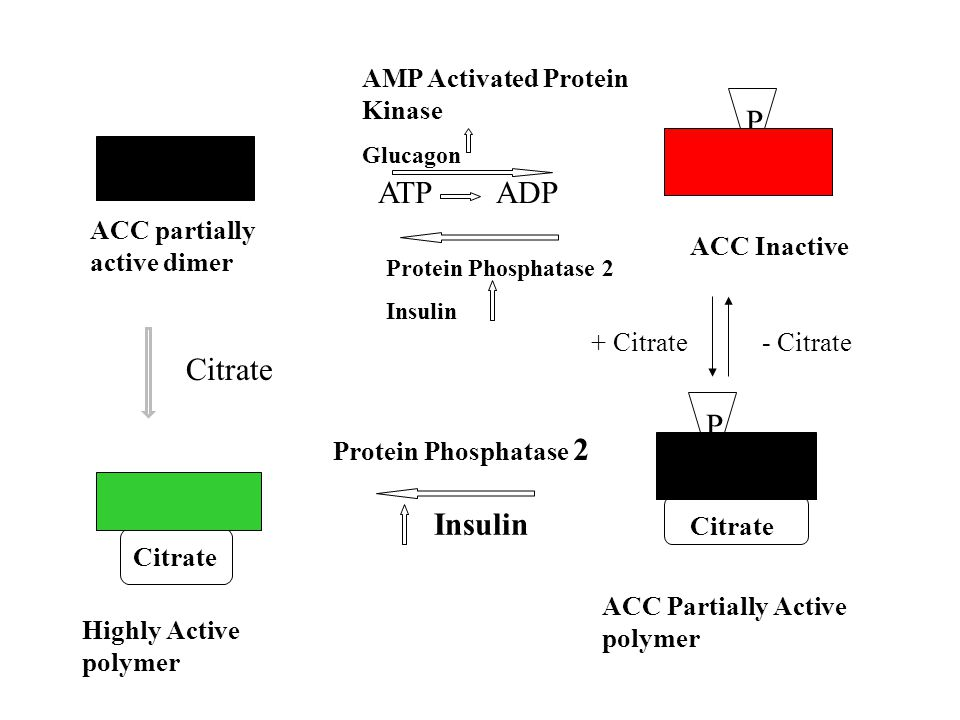 ACC partially active dimer ACC Inactive ACC Partially Active polymer AMP Activated Protein Kinase Glucagon ATP ADP P P Citrate - Citrate Protein Phosphatase 2 Insulin + Citrate Citrate Highly Active polymer Insulin Citrate Protein Phosphatase 2
