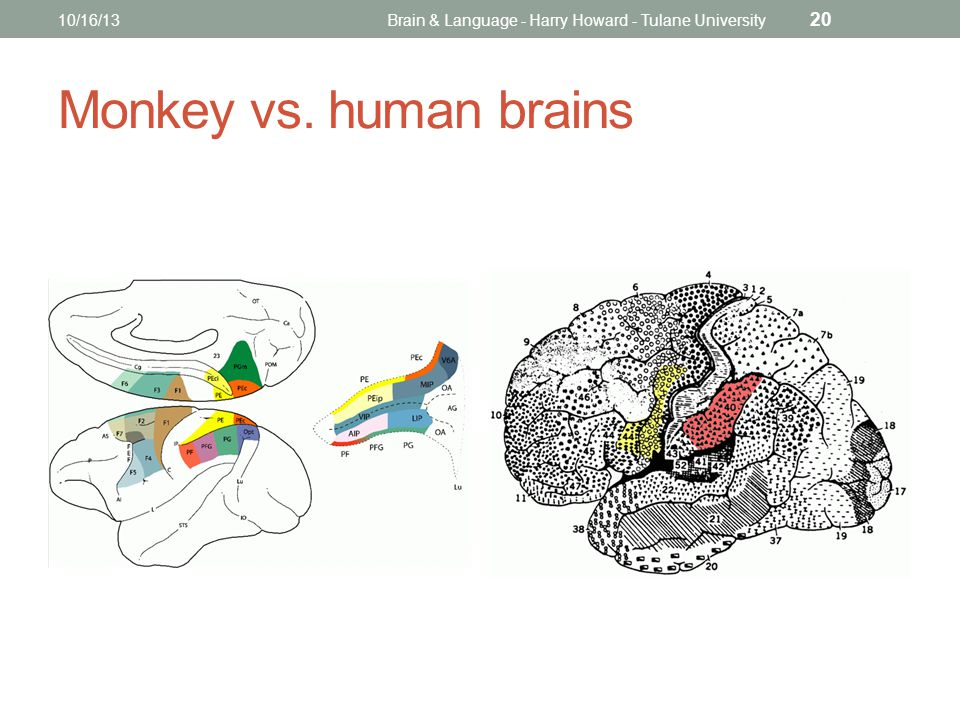 Monkey vs. human brains 10/16/13Brain & Language - Harry Howard - Tulane University 20