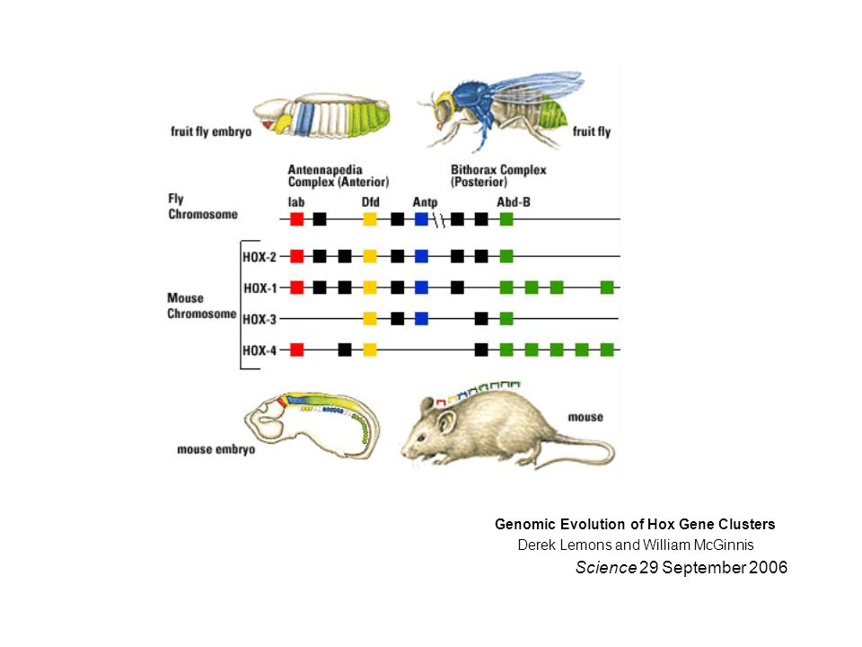 Genomic Evolution of Hox Gene Clusters Derek Lemons and William McGinnis Science 29 September 2006
