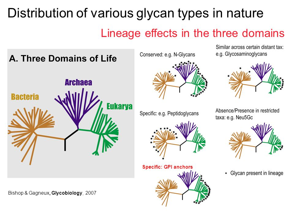 Bishop & Gagneux, Glycobiology, 2007 Distribution of various glycan types in nature Lineage effects in the three domains Specific: GPI anchors