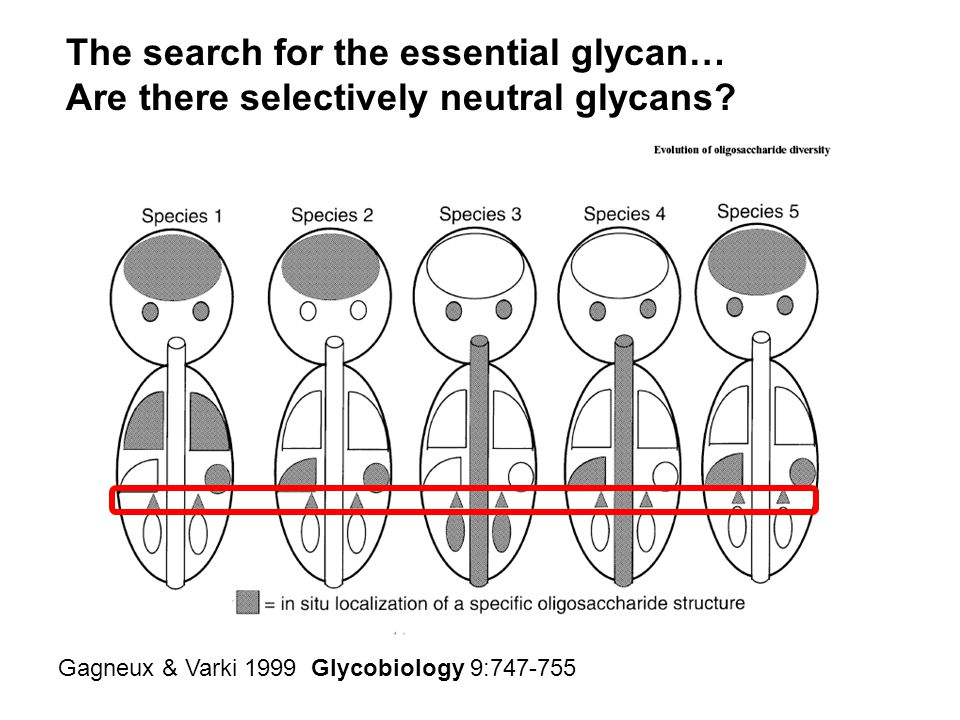 Gagneux & Varki 1999 Glycobiology 9:747-755 The search for the essential glycan… Are there selectively neutral glycans?