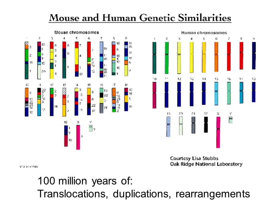 100 million years of: Translocations, duplications, rearrangements