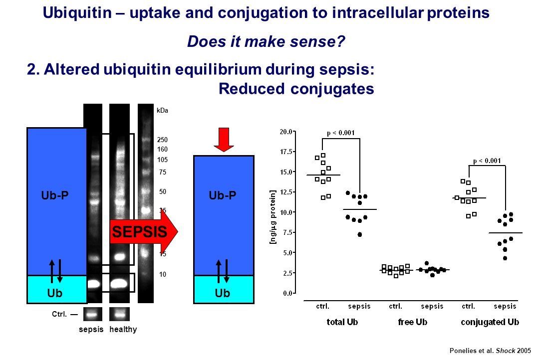 250 160 105 75 50 35 30 25 15 10 kDa free Ub — Ub-protein conjugates  Ctrl. — sepsis healthy Ubiquitin – uptake and conjugation to intracellular prot