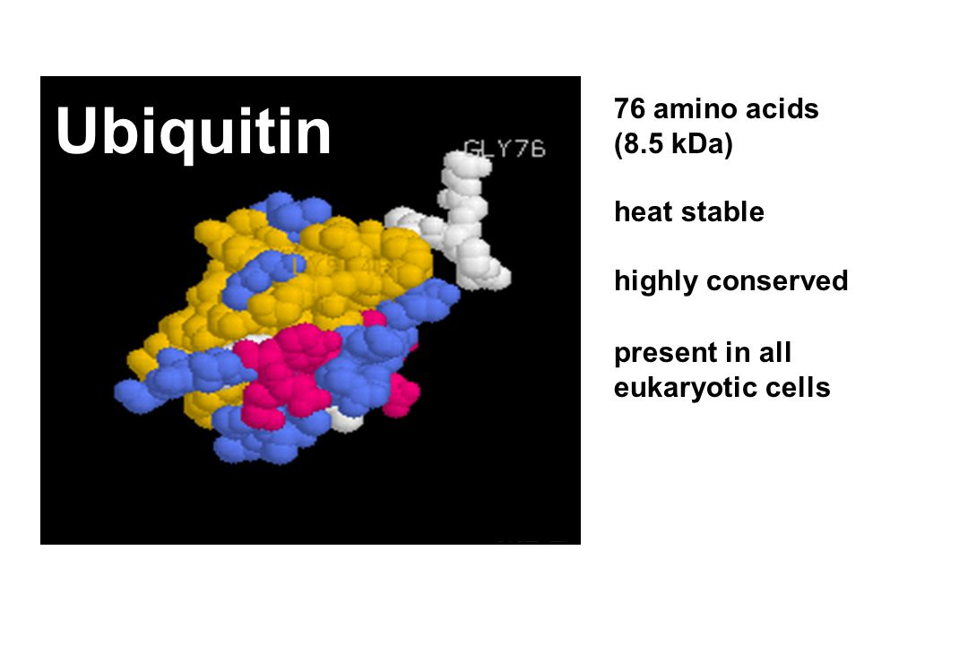 76 amino acids (8.5 kDa) heat stable highly conserved present in all eukaryotic cells Ubiquitin