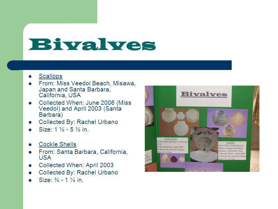 Bivalves Scallops From: Miss Veedol Beach, Misawa, Japan and Santa Barbara, California, USA Collected When: June 2006 (Miss Veedol) and April 2003 (Santa Barbara) Collected By: Rachel Urbano Size: 1 ½ - 5 ½ in.
