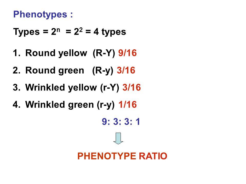 Phenotypes : Types = 2 n = 2 2 = 4 types 1.Round yellow (R-Y) 9/16 2.Round green (R-y) 3/16 3.Wrinkled yellow (r-Y) 3/16 4.Wrinkled green (r-y) 1/16 9: 3: 3: 1 PHENOTYPE RATIO