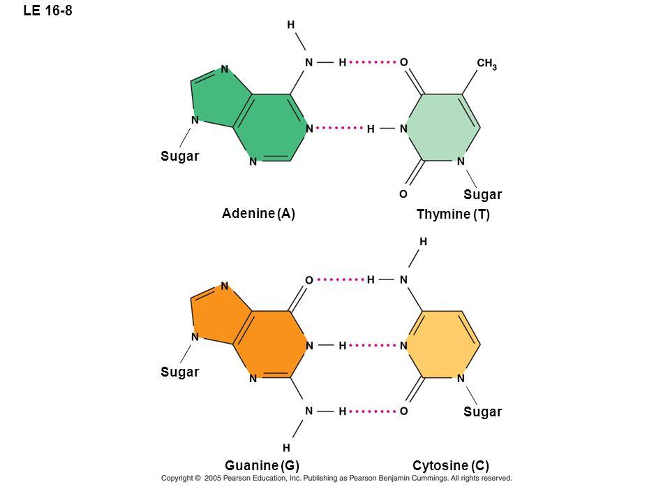 LE 16-8 Adenine (A) Thymine (T) Guanine (G) Cytosine (C) Sugar