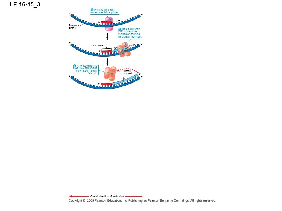 LE 16-15_3 5 3 Primase joins RNA nucleotides into a primer.