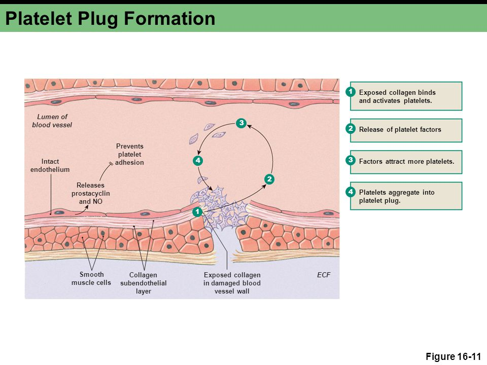 Platelet Plug Formation Figure 16-11 1 2 3 4 2 4 3 Prevents platelet adhesion Lumen of blood vessel Intact endothelium Smooth muscle cells Collagen subendothelial layer Exposed collagen in damaged blood vessel wall ECF Releases prostacyclin and NO Exposed collagen binds and activates platelets.