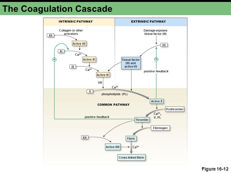 The Coagulation Cascade Figure 16-12 INTRINSIC PATHWAY COMMON PATHWAY EXTRINSIC PATHWAY Cross-linked fibrin Thrombin Fibrin Active IX Active X Active XIII Tissue factor (III) and active VII Collagen or other activators Damage exposes tissue factor (III) Active XII Active XI XII VIII VII IX XI Ca 2+ Fibrinogen Prothrombin Ca 2+, V, PL, positive feedback phospholipids (PL) X XIII