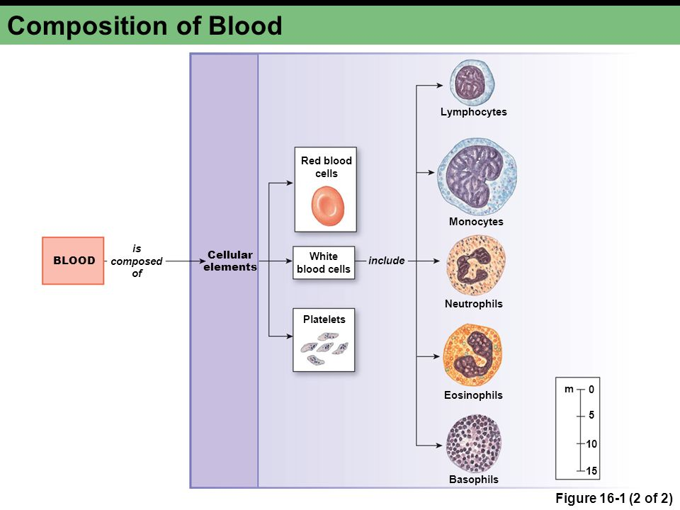 Composition of Blood Figure 16-1 (2 of 2) Cellular elements Red blood cells White blood cells Platelets Lymphocytes Monocytes Neutrophils Eosinophils Basophils include m 0 5 10 15 BLOOD is composed of