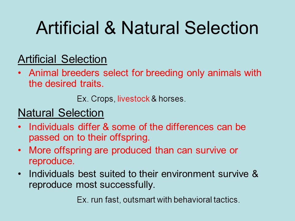 Artificial & Natural Selection Artificial Selection Animal breeders select for breeding only animals with the desired traits. Ex. Crops, livestock & h
