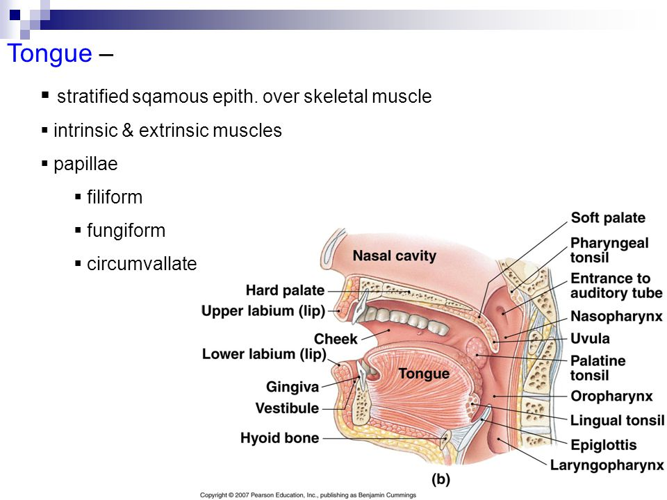 Tongue –  stratified sqamous epith. over skeletal muscle  intrinsic & extrinsic muscles  papillae  filiform  fungiform  circumvallate