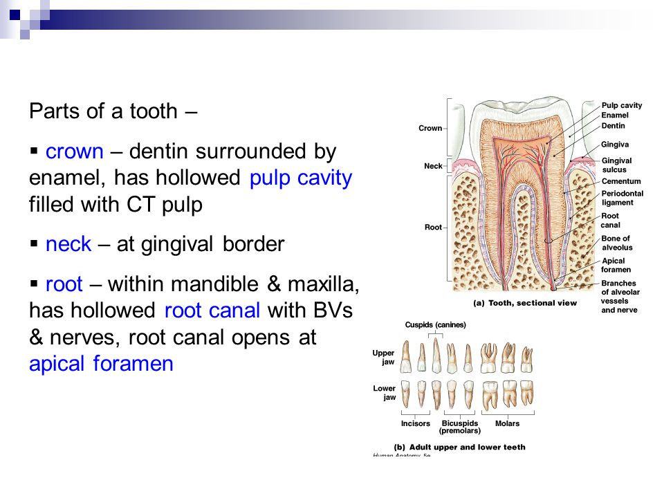 Parts of a tooth –  crown – dentin surrounded by enamel, has hollowed pulp cavity filled with CT pulp  neck – at gingival border  root – within man