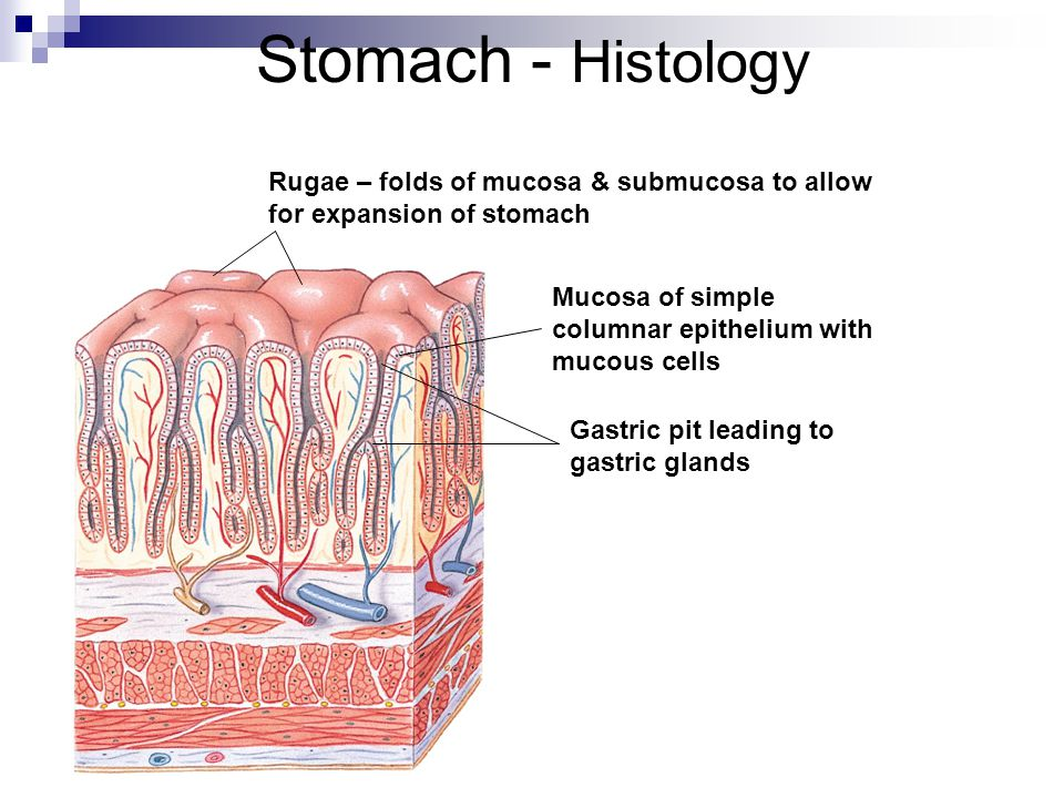 Stomach - Histology Rugae – folds of mucosa & submucosa to allow for expansion of stomach Mucosa of simple columnar epithelium with mucous cells Gastric pit leading to gastric glands