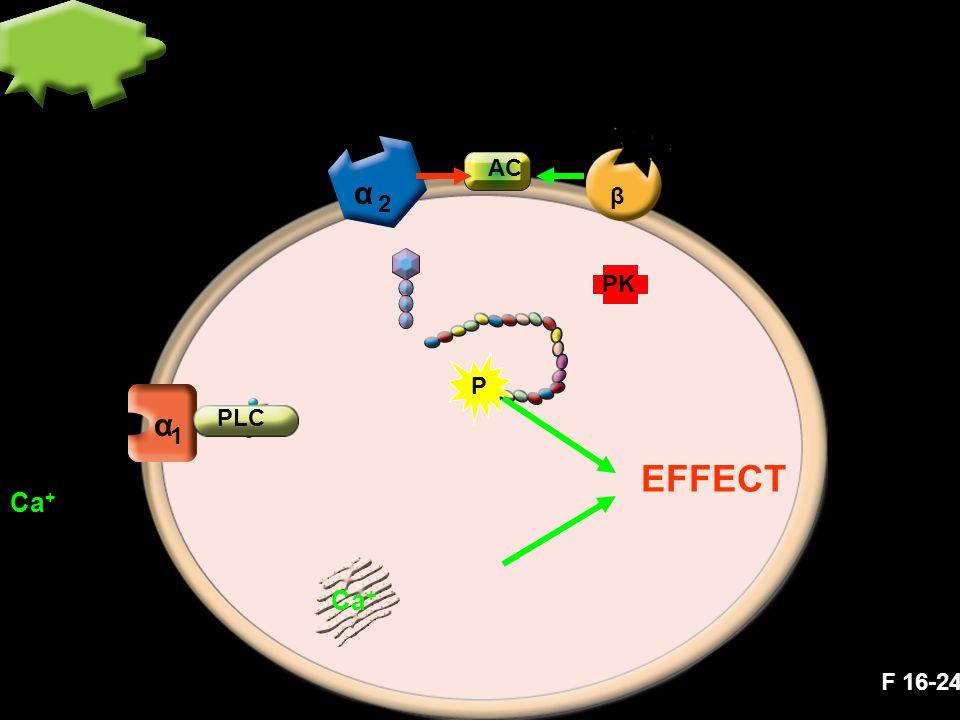 α α 1 2 β P AC PK Ca + PLC Ca + EFFECT F 16-24