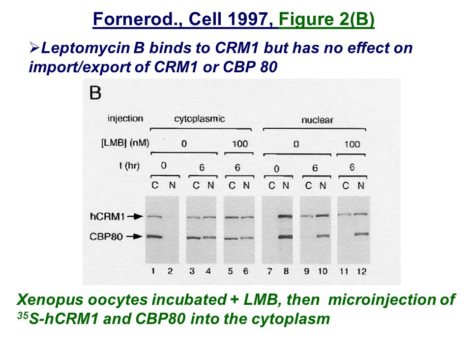 Fornerod., Cell 1997, Figure 2(B)  Leptomycin B binds to CRM1 but has no effect on import/export of CRM1 or CBP 80 Xenopus oocytes incubated + LMB, then microinjection of 35 S-hCRM1 and CBP80 into the cytoplasm
