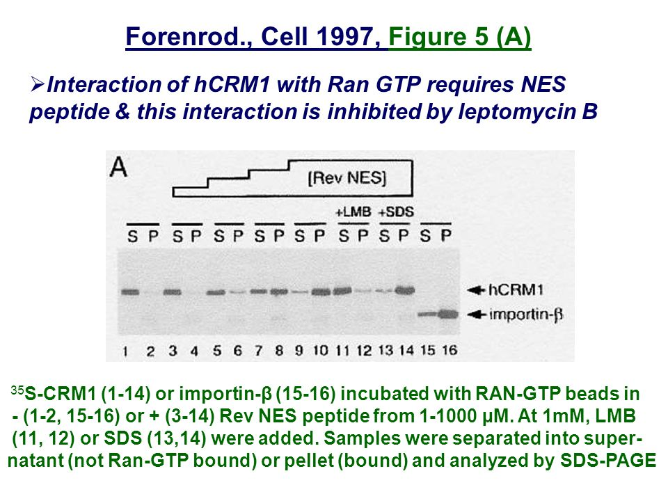 Forenrod., Cell 1997, Figure 5 (A)  Interaction of hCRM1 with Ran GTP requires NES peptide & this interaction is inhibited by leptomycin B 35 S-CRM1 (1-14) or importin-β (15-16) incubated with RAN-GTP beads in - (1-2, 15-16) or + (3-14) Rev NES peptide from 1-1000 µM.