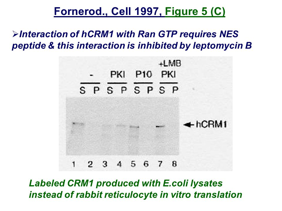 Fornerod., Cell 1997, Figure 5 (C)  Interaction of hCRM1 with Ran GTP requires NES peptide & this interaction is inhibited by leptomycin B Labeled CRM1 produced with E.coli lysates instead of rabbit reticulocyte in vitro translation
