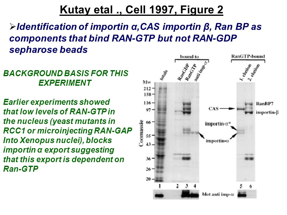 Fornerod., Cell 1997, Figure 1(B)  LMB has no effect on CB 80 or hnRNPA1 import Microinjection of 35 S labeled CBP 80 and hnRNP A1 proteins into cytoplasm