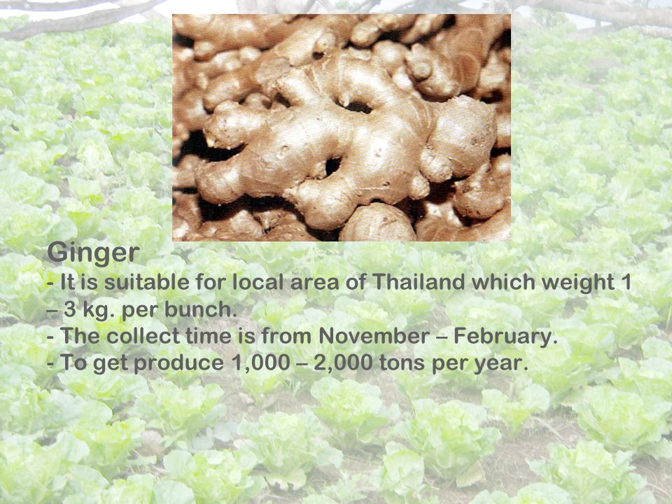 Ginger - It is suitable for local area of Thailand which weight 1 – 3 kg.