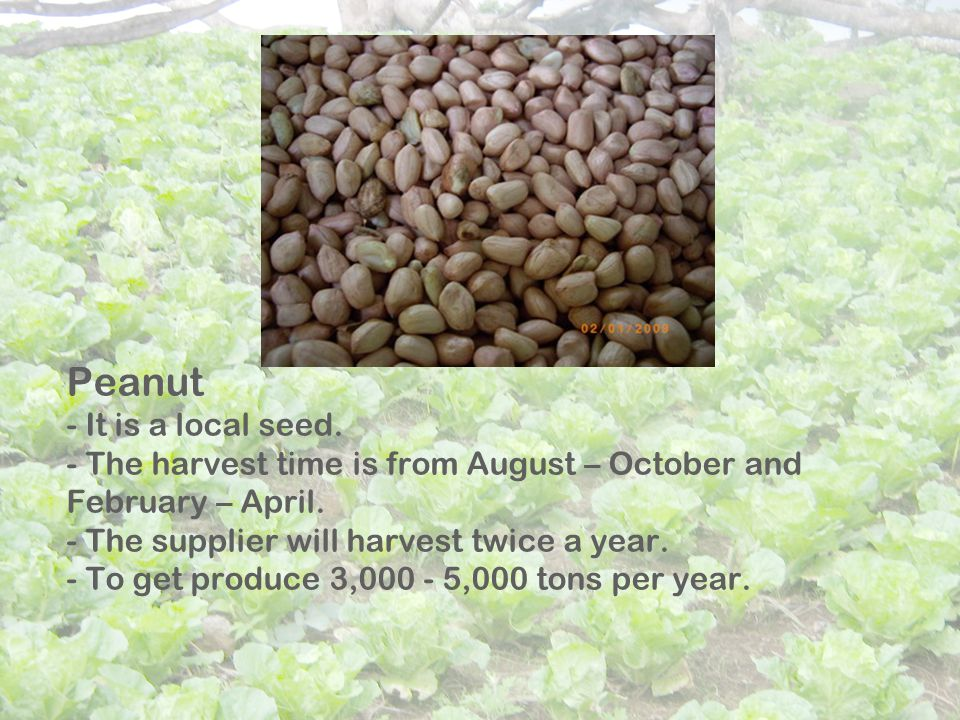 Peanut - It is a local seed. - The harvest time is from August – October and February – April.
