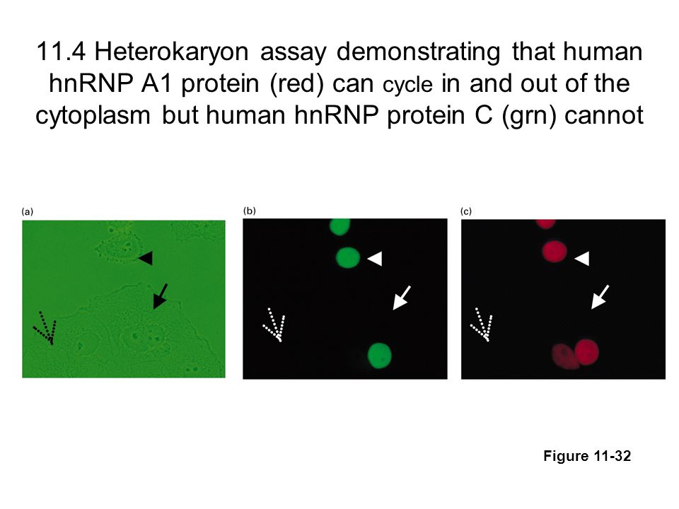 11.4 Heterokaryon assay demonstrating that human hnRNP A1 protein (red) can cycle in and out of the cytoplasm but human hnRNP protein C (grn) cannot Figure 11-32