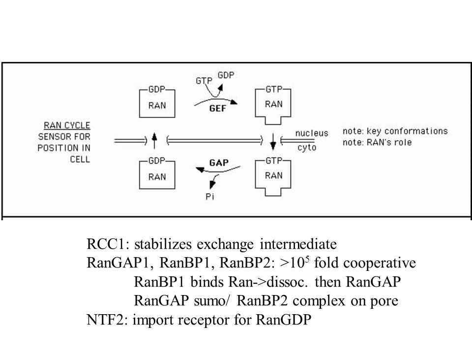 RCC1: stabilizes exchange intermediate RanGAP1, RanBP1, RanBP2: >10 5 fold cooperative RanBP1 binds Ran->dissoc.