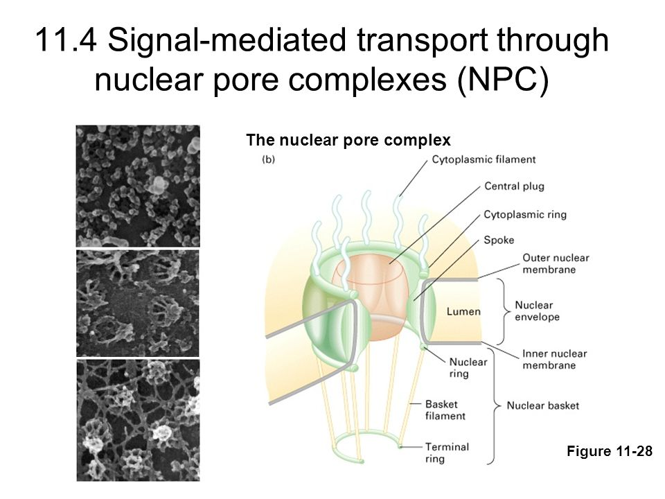 Nuclear transport requires cytosolic factors and ATP