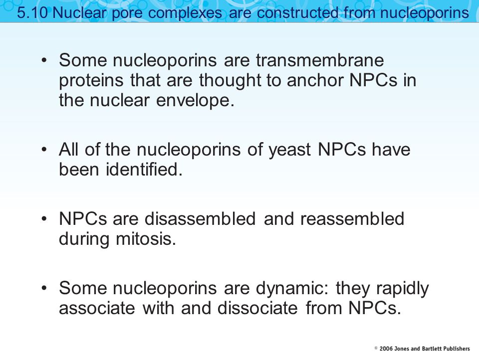 Some nucleoporins are transmembrane proteins that are thought to anchor NPCs in the nuclear envelope.