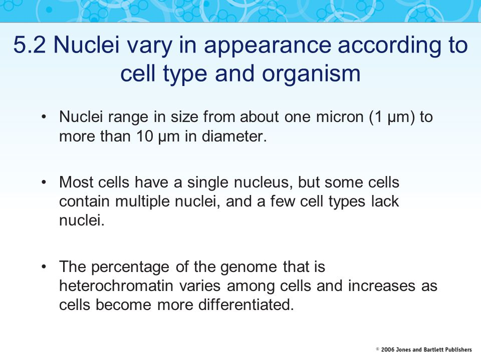 5.2 Nuclei vary in appearance according to cell type and organism Nuclei range in size from about one micron (1 μm) to more than 10 μm in diameter.