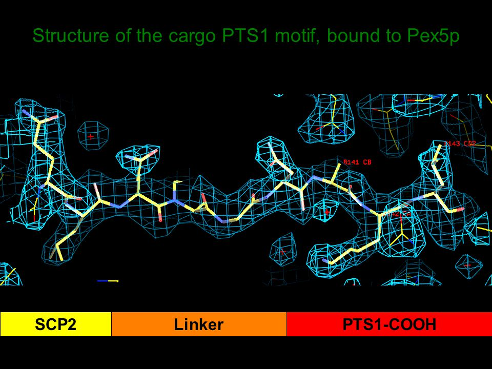 SCP2LinkerPTS1-COOH Structure of the cargo PTS1 motif, bound to Pex5p