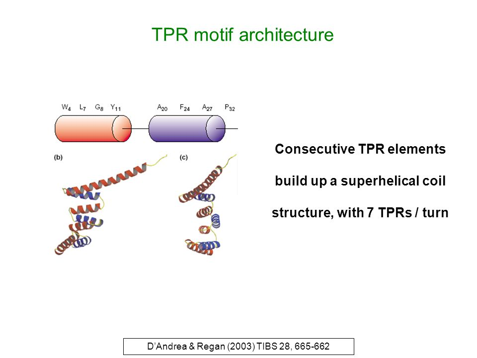 TPR motif architecture D'Andrea & Regan (2003) TIBS 28, 665-662 Consecutive TPR elements build up a superhelical coil structure, with 7 TPRs / turn