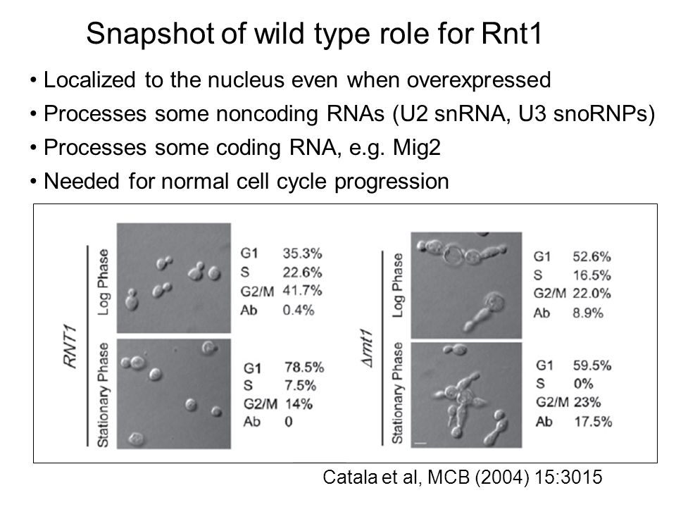 Catala et al, MCB (2004) 15:3015 Snapshot of wild type role for Rnt1 Processes some noncoding RNAs (U2 snRNA, U3 snoRNPs) Localized to the nucleus even when overexpressed Processes some coding RNA, e.g.